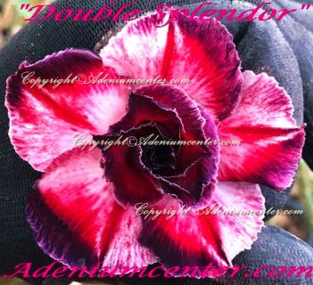 Adenium Center Shopping Online Adenium Center Best Or